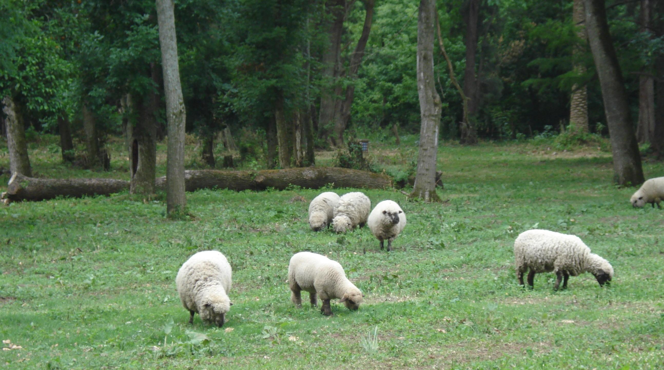 Les moutons de la Dulce