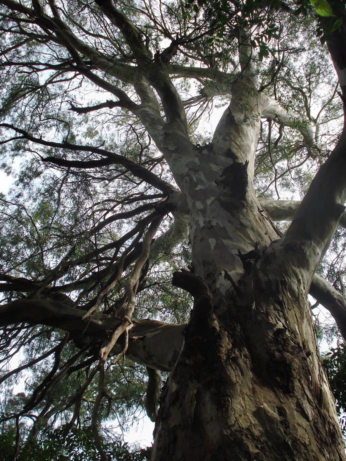 les grands eucaliptus du parc
